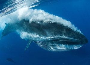وال(نهنگ) آبی