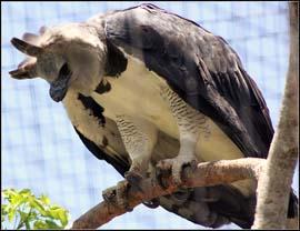 عقاب اردکی