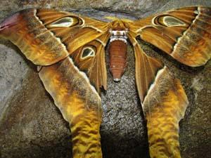 پروانه هرکول استرالیایی