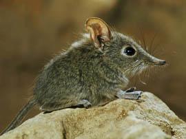 موش پوزه دراز کوتوله